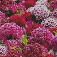 Sweet William Crown double Mixed - Approx 2000 seeds