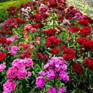 Sweet William Crown Single Mixed - Approx 2000 seeds