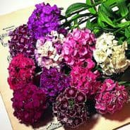 Sweet William floriade Mixed Approx 1300 seeds