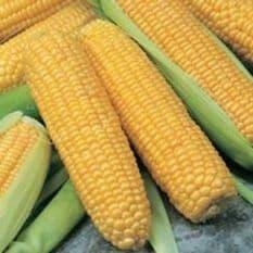 Sweetcorn F1 Incredible Seeds - 250 grams