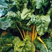 Swiss Chard Bright Yellow 30 seeds  'Beat Leaf'
