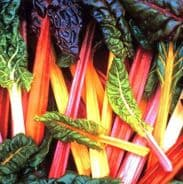 Swiss Chard Rainbow  450 seeds  - Beat Leaf
