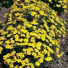 Tagetes Lemon Gem Appx 200 seeds - Annuals & Biennials