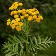 Tansy - Tanacetum vulgare - Appx 2,500 seeds