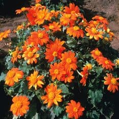Tithonia Goldfinger - Mexican Sunflower - Appx 240 seeds