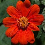 Tithonia Torch - appx 150 seeds