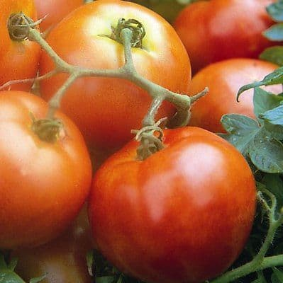 Tomato Ailsa Craig appx - 120 seeds