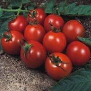 Tomato Alicante 10 grams Bulk Discounts available