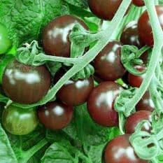 Tomato - Black Opal - Cherry type - 15 seeds