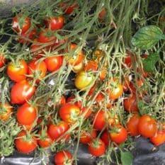 Tomato Britain's Breakfast - HEAVY CROPPER - 10 seeds