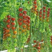 Tomato F1 Sakura - 10 seeds - Cherry type