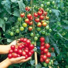 Tomato F1 Sweet Million - 20 seeds