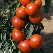 Tomato Fandango - 15 seeds Blight tolerant