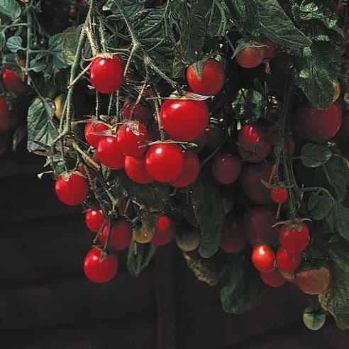Tomato Garden Pearl ( Gartenperle ) 'Basket type' - 200 seeds