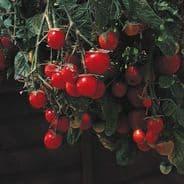 Tomato Gartenperle - Garden pearl - Basket type - 1 gram - 100 grams