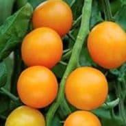 Tomato - Golden Crown - Cherry type - 15 seeds