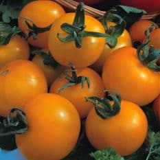 Tomato 'Golden Sunrise' 100 seeds
