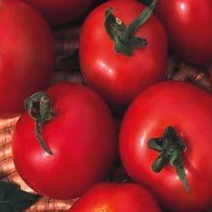 Tomato Moneymaker Appx 240 seeds
