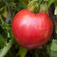 Tomato Oxheart - 1 gram - 100 grams