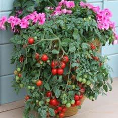 Tomato - Tumbling Tom Red 10 seeds