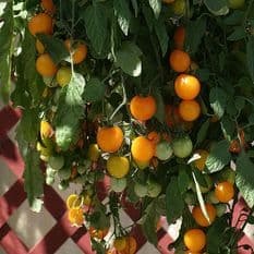 Tomato - Tumbling Tom Yellow 10 seeds
