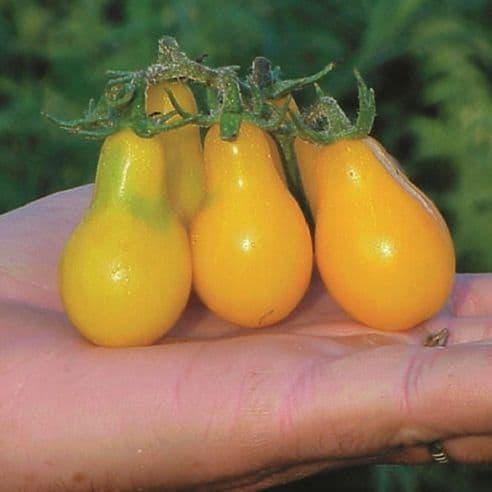 Tomato Yellow Pear - 120 seeds