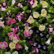 Torenia Clown Mix - Wishbone flower - 10 pelleted seeds