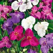 Tradescantia andersoniana - Shimmer Mix - 10 seeds