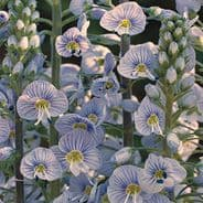 Veronica gentianoides Blue Streak
