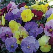Viola Hiemalis - Winter Flowering Pansy - Appx 100 seeds