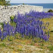 Vipers Bugloss - echium vulgare - 300 seeds