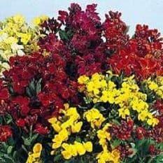 Wallflower Bedding mixed - Appx 2400 seeds