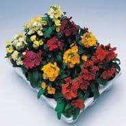 Wallflower Charity Mix - 100 seeds
