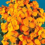 Wallflower 'Cloth of Gold' Chieranthus cheiri 250 seeds