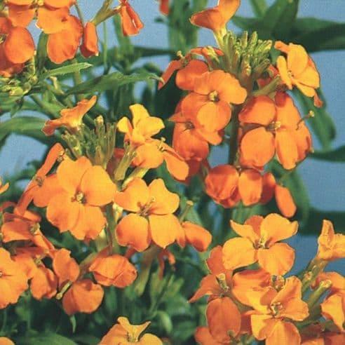 Wallflower Golden Bedder - appx  1000 seeds