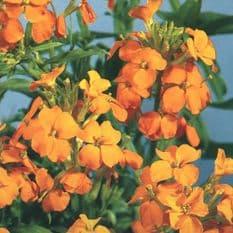 Wallflower Golden Bedder - appx  200 seeds - Biennual