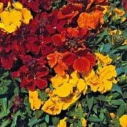 Wallflower Harlequin Mixed - Appx 500 seeds