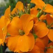 Wallflower Orange Bedder - Approx 600 Seeds