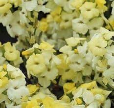 Wallflower Primrose Bedder - appx 500 seeds