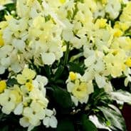 Wallflower White Dame-  appx 1000 seeds
