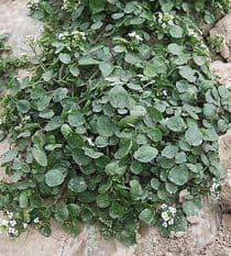 Water Cress  -  Nasturtium officinale  -  Appx 2000 seeds