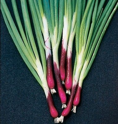 Welsh Onion Red 'Allium fistulosum' Appx 900 seeds