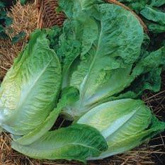 Winter Lettuce 4 Varieties 150 seeds of each variety