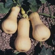 Winter Squash Waltham Butternut 80 seeds