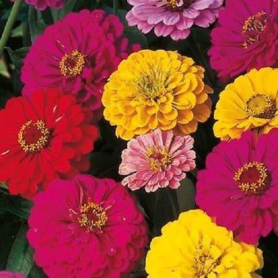 Zinnia Giant Dahlia Flowered mix - 150 seeds