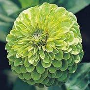 Zinnia Green Envy - 150 seeds