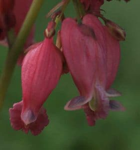Dicentra luxuriant 2lt