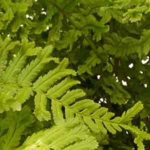 Dryopteris affinis 'Cristata the King' 1lt