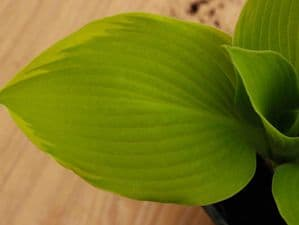 Hosta Richmond 2lt