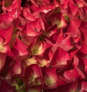Hydrangea macrophylla Richards Red 3lt